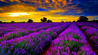 Lavender-Fields-sky-www.tourismprofile.com-