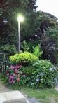 The neighbours hydrangeas by my driveway!