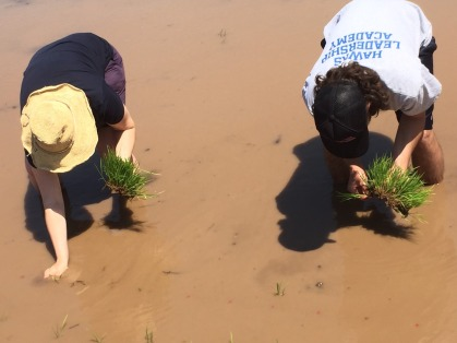 And planted clumps of 3 rice stalks in a whole in the mud!