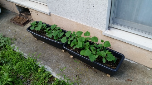 Look at those cucumbers go!