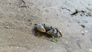 this is crabby the crab. it was quite... crabby with me for spotting him!