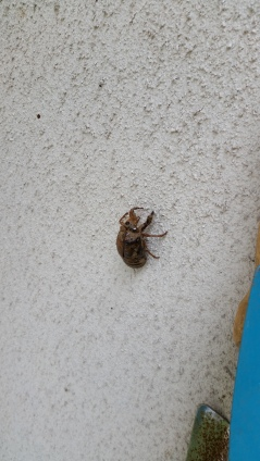 This is the juvenile shell of a cicada! on the wall outside my house.
